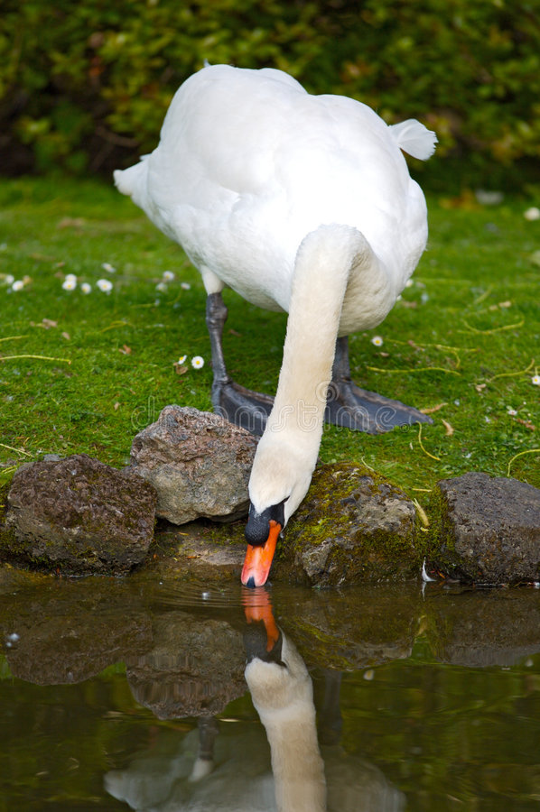 Free Pretty Swan Drinking Water Stock Images - 1654324