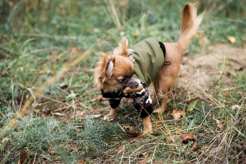 Pretty sweet small little dog chihuahua in pullover outdoor dress, jacket on the autumn background.  stock images