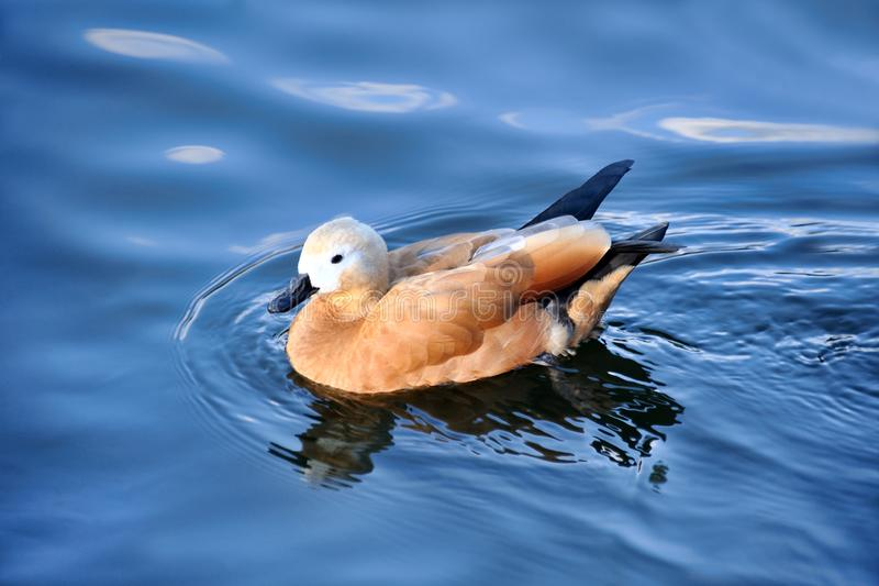 Pretty Swimming Ruddy Shelduck - Moscow Zoo royalty free stock photography