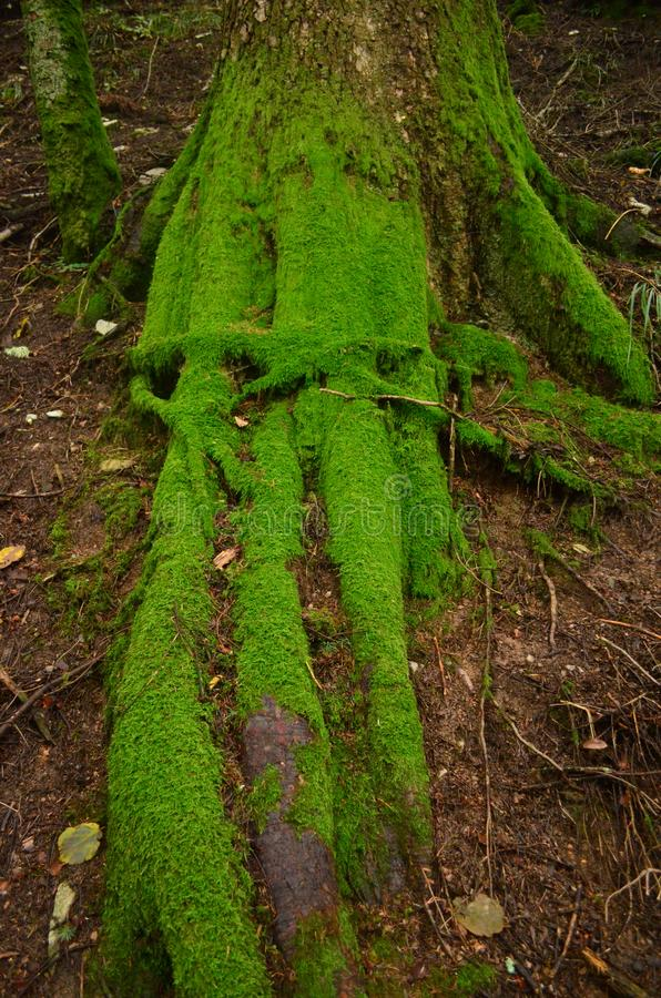Pretty tree roots covered in green moss stock photo