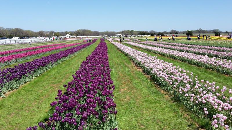 Pretty Tulip Farm stock photography