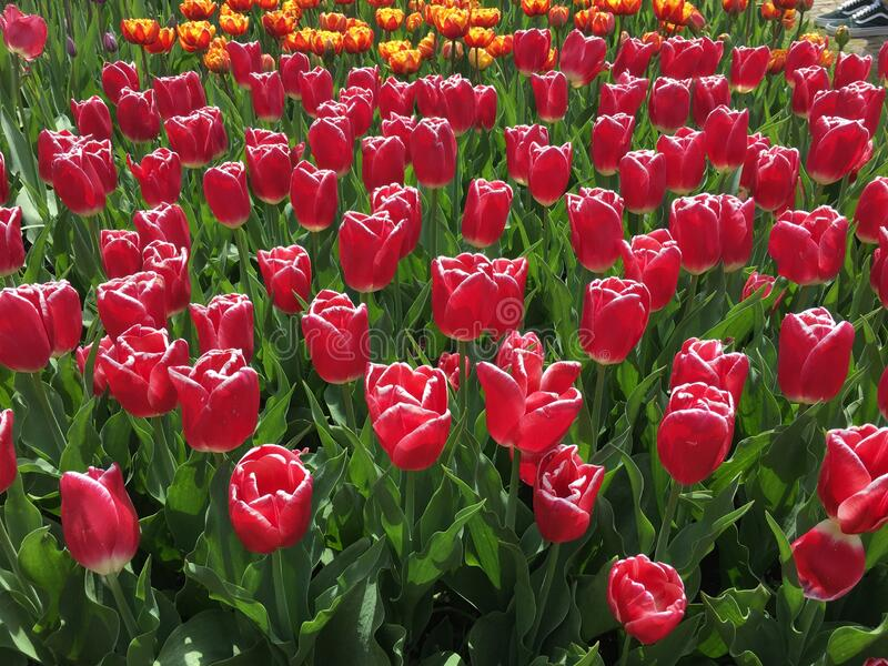 Various Dutch Tulips Blank Greeting Cards You will receive four cards of various tulips photographed in Holland at the Keukenhof