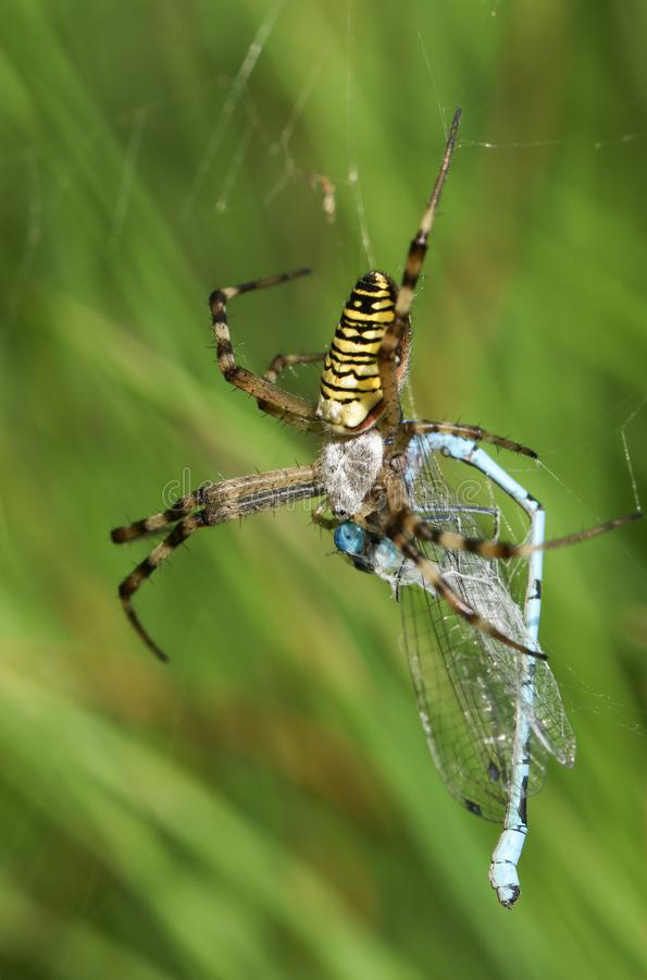 A beautiful Wasp Spider, Argiope bruennichi, eating a Damselfly that has got caught in its web. A pretty Wasp Spider, Argiope bruennichi, eating a Damselfly stock photography