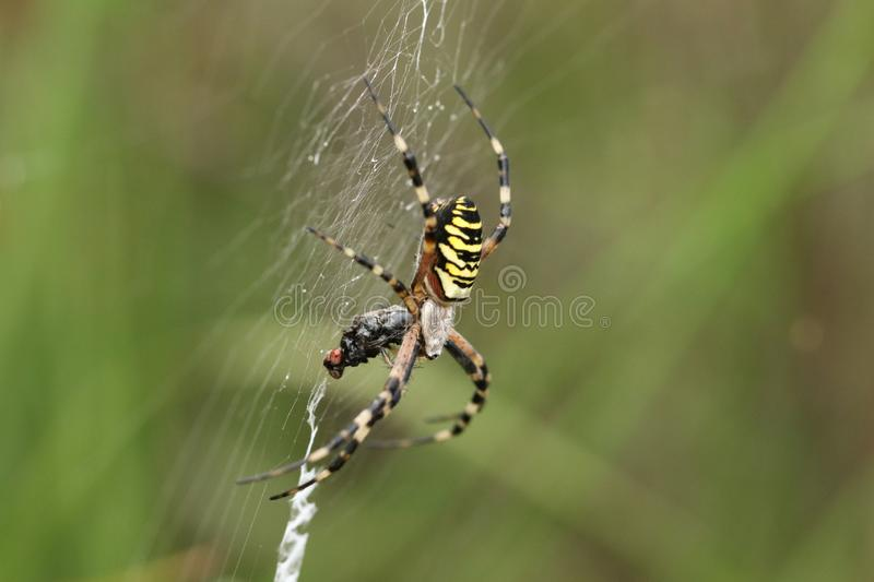 A beautiful Wasp Spider, Argiope bruennichi, eating a fly that has got caught in its web. A pretty Wasp Spider, Argiope bruennichi, eating a fly that has got stock photos