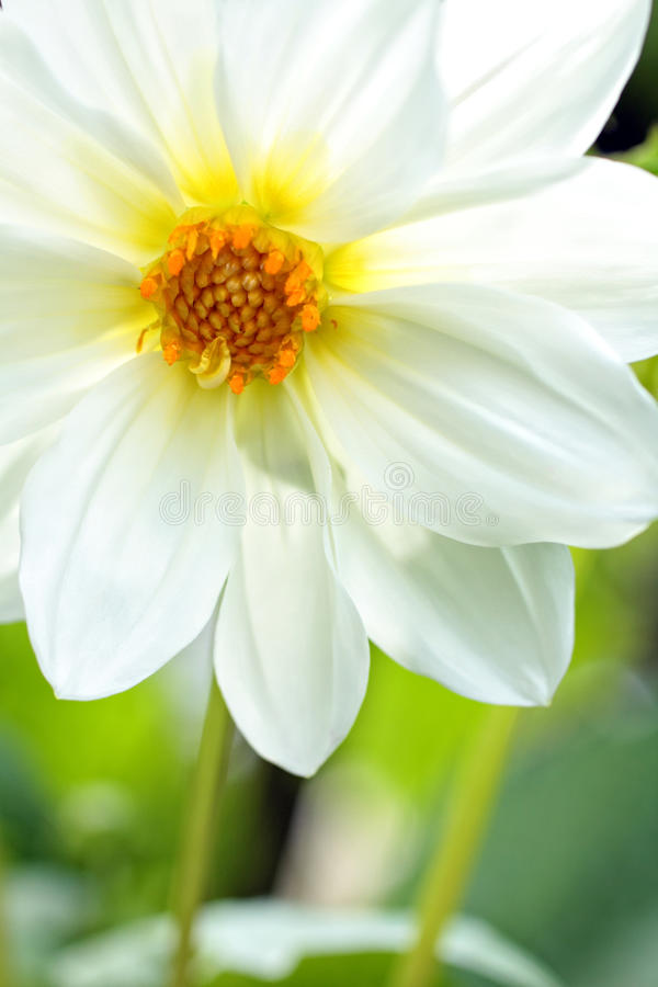 Pretty White Dahlia Royalty Free Stock Image