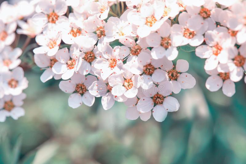 Pretty white flowers blooming in a garden. Summer or spring background stock image