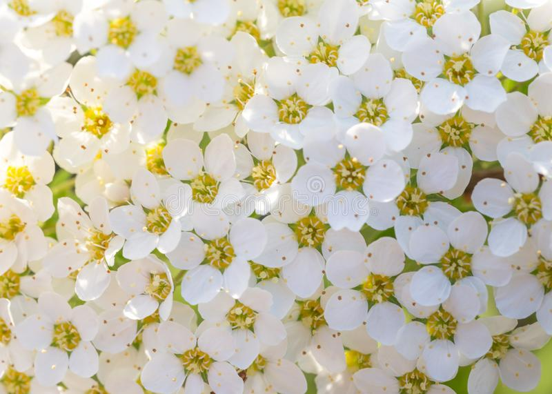 Pretty white flowers blooming in a garden. Summer or spring background stock images