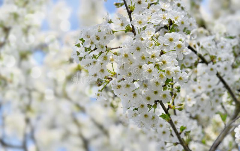 Pretty white flowers of a cherry tree in spring stock image