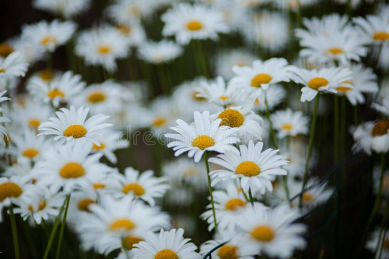 White, green and yellow flowers royalty free stock photography