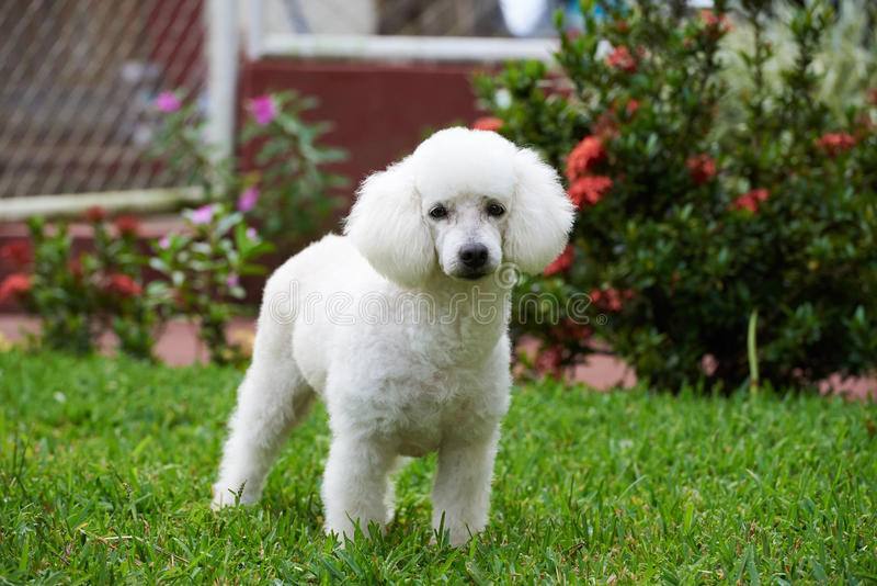Pretty white french poodle stock image