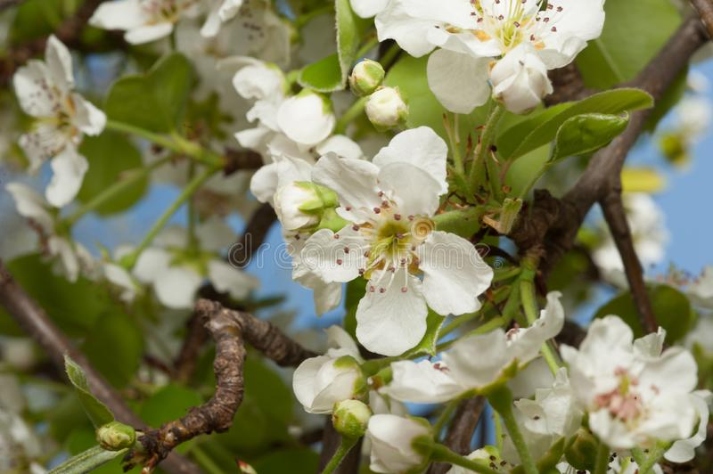 Pretty white pear blossoms in spring. Many pretty white pear blossoms on a branch in spring stock photo