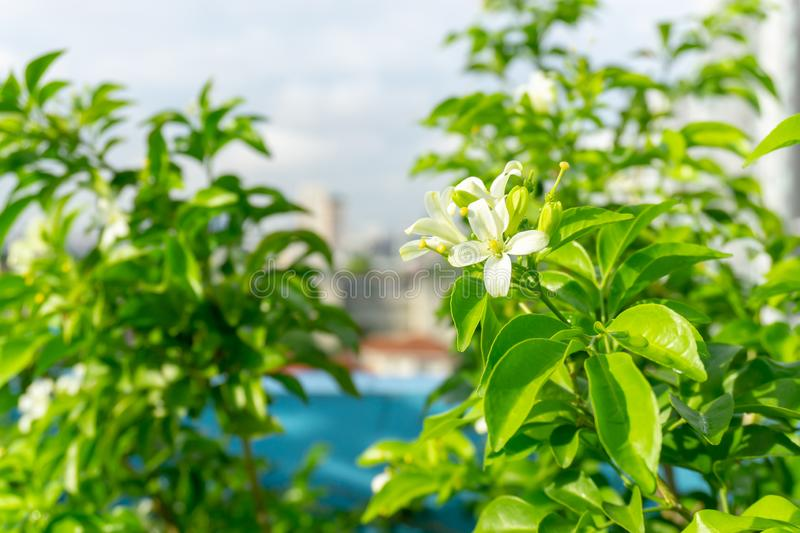Pretty white petals of Orange Jessamine on green leaf background under sunlight, tropical planting know as Andaman satinwood stock photos