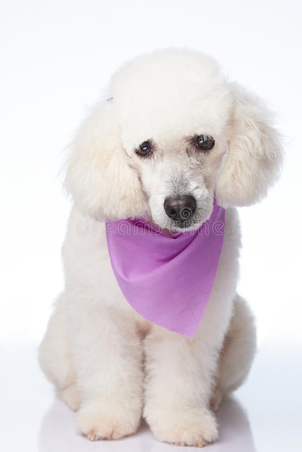 Pretty white poodle dog royalty free stock images
