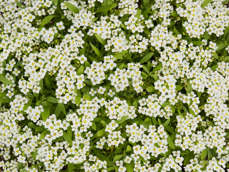 Pretty white small Alyssum flowers blooming in a garden, Snow Ca stock images