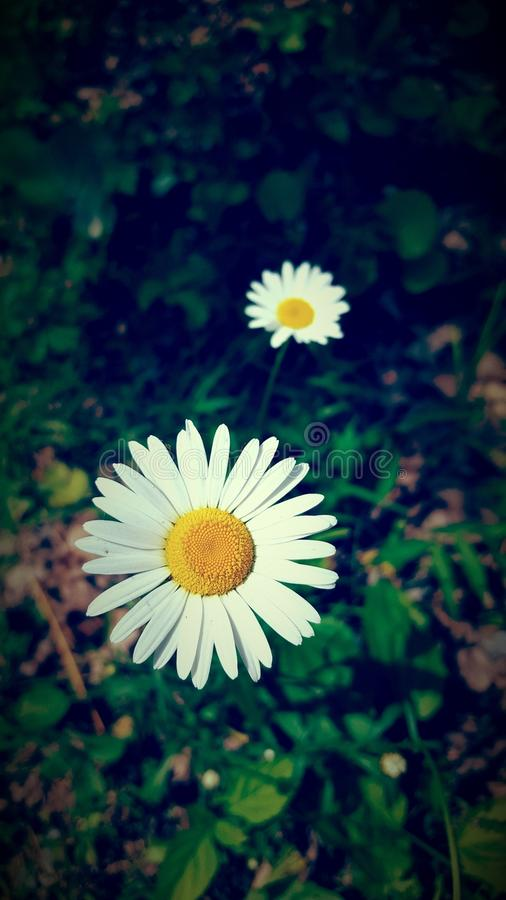 pretty white and yellow Daisies royalty free stock images