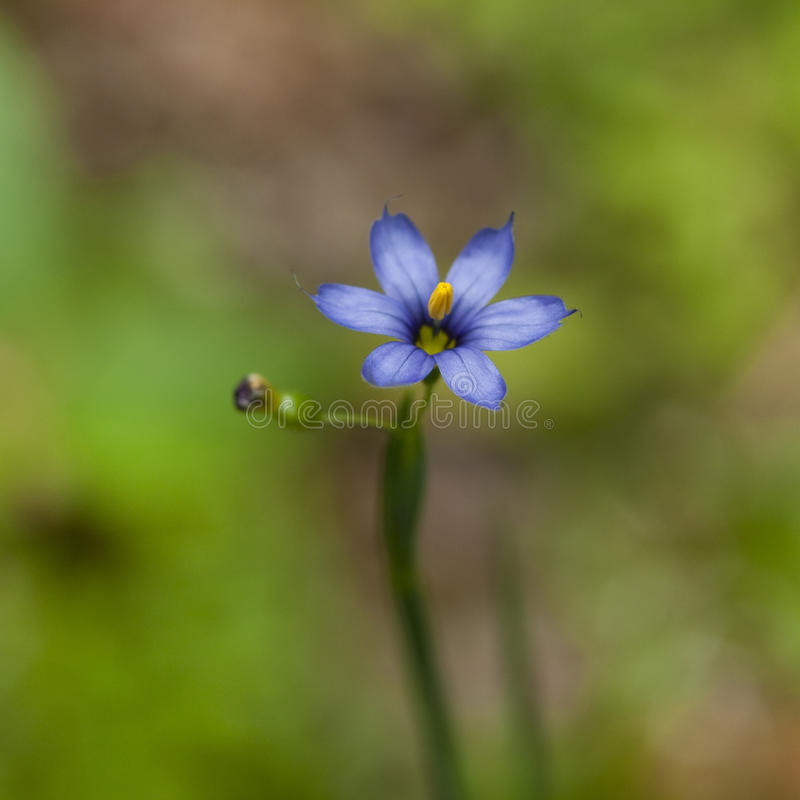 Download Pretty Wildflower, Blue-eyed Grass Stock Photo - Image: 20198084