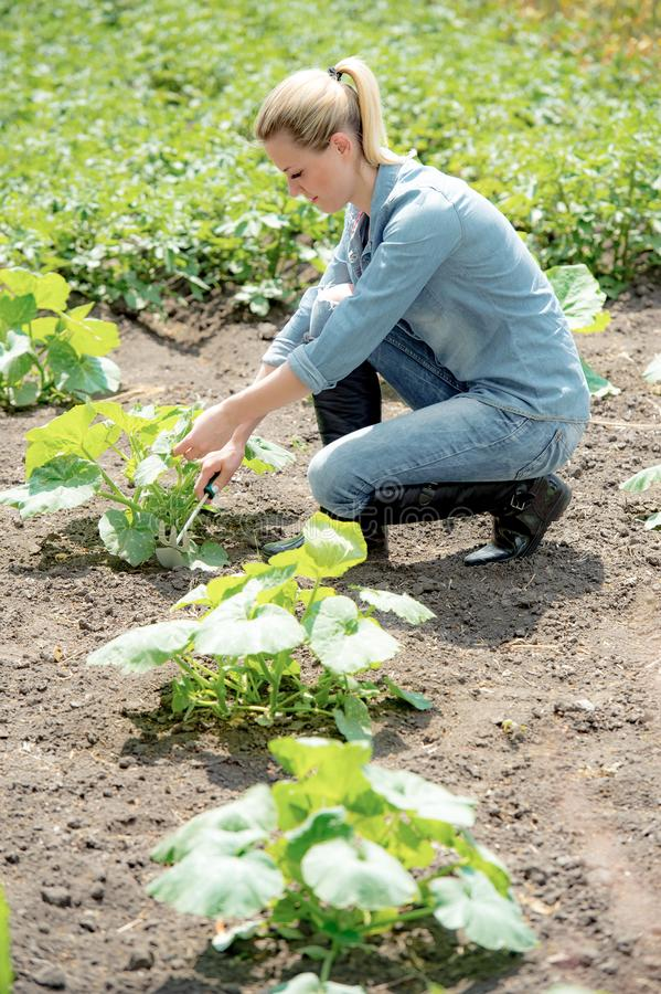 Pretty woman agronomist working in field, checks eco growing pumpkin. The Pretty woman agronomist working in field, checks eco growing pumpkin stock photography