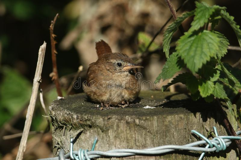 A pretty Wren Troglodytes troglodytes resting on a fence post at the edge of woodland. A sweet Wren Troglodytes troglodytes resting on a fence post at the edge royalty free stock photo