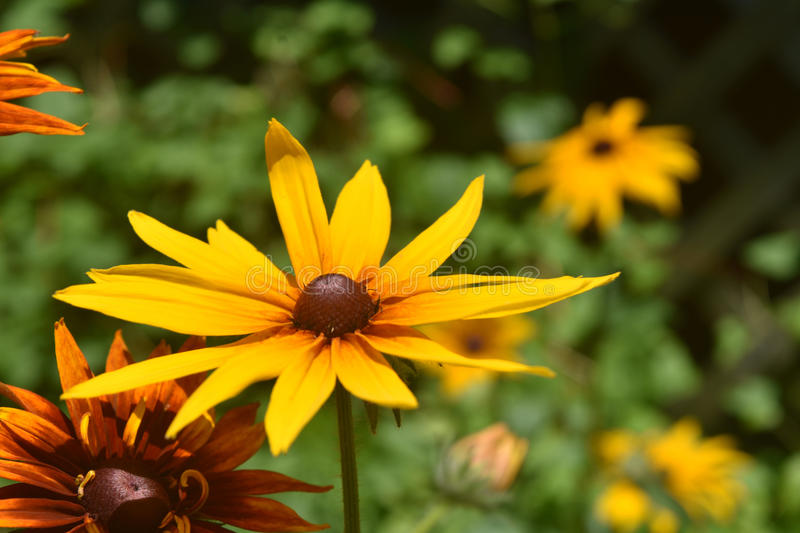 Pretty Yellow Black Eyed Susan in the Spring stock photography