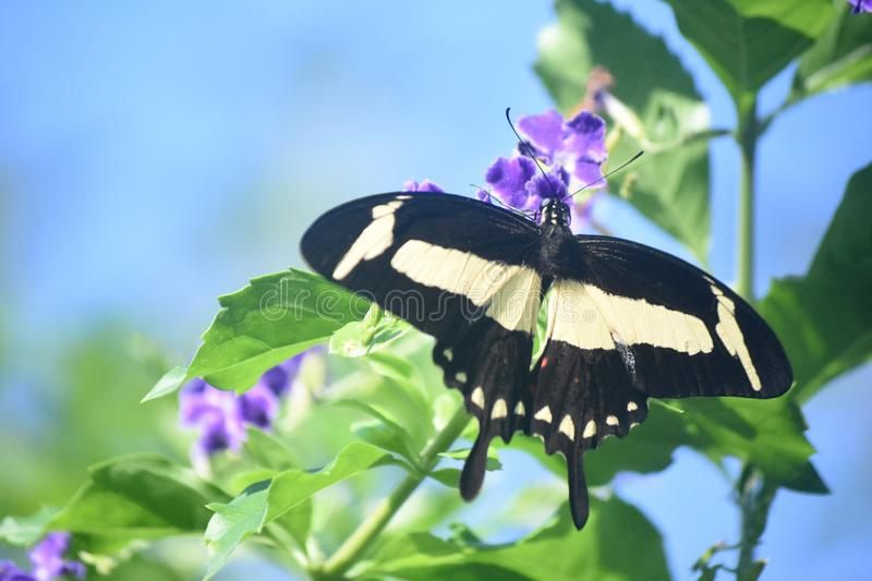 Pretty Yellow and Black Swallowtail Butterfly on Purple Flowers stock photography