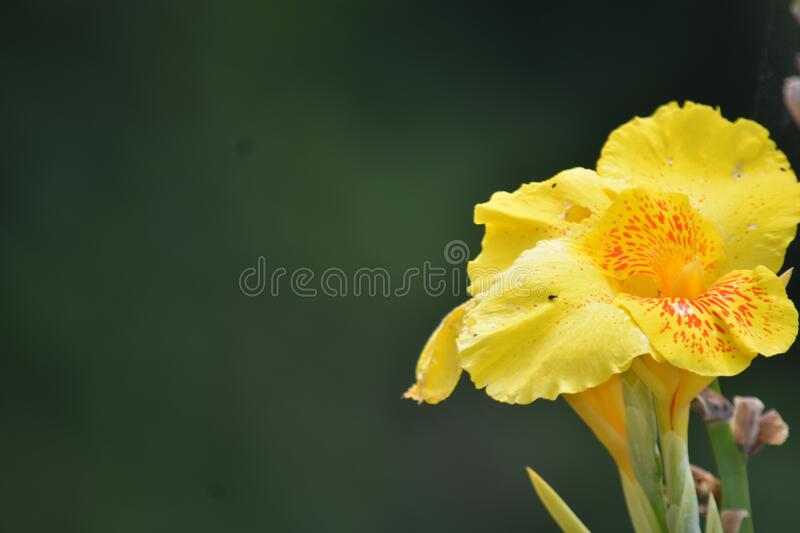 A Pretty Yellow Flower Outdoor Plant. Pretty Yellow Flower Outdoor Plant stock photos
