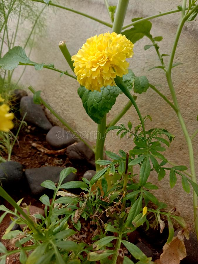 Pretty yellow merigold flower plant. Gardening outdoor area in full sun light at winter season royalty free stock photo