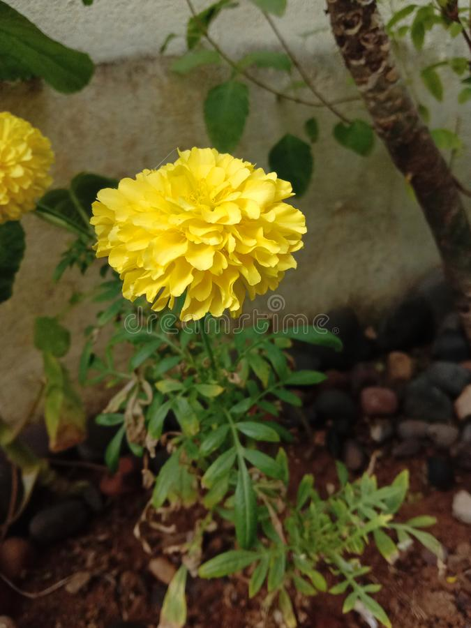 Pretty yellow merigold flower plant. Idea to home outdoor gardening royalty free stock photo