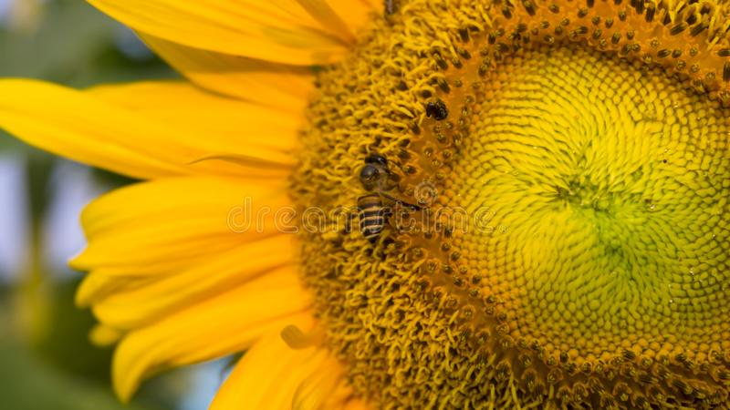 Pretty yellow petals of beautiful Sunflower and the bees are taking sweet nectar sugar from sweet pistil, closeup photo. Pretty yellow petals of beautiful stock image
