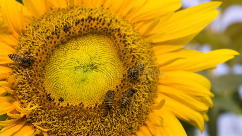 Pretty yellow petals cover around beautiful Sunflower and the bees are taking sweet nectar sugar from sweet pistil, closeup photo. Pretty yellow petals cover royalty free stock photography