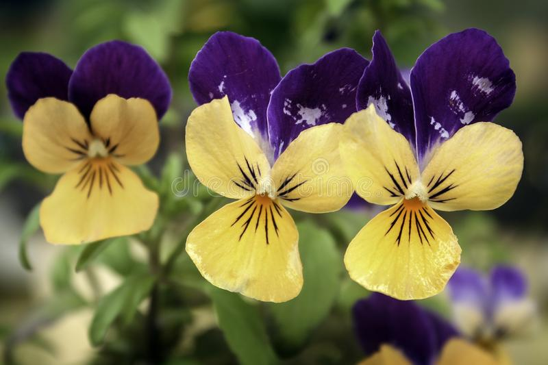 Pretty yellow and purple violas stock images