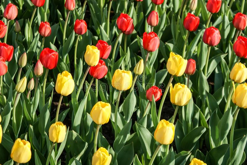 Pretty Yellow red flowers tulips Netherlands gardening royalty free stock image
