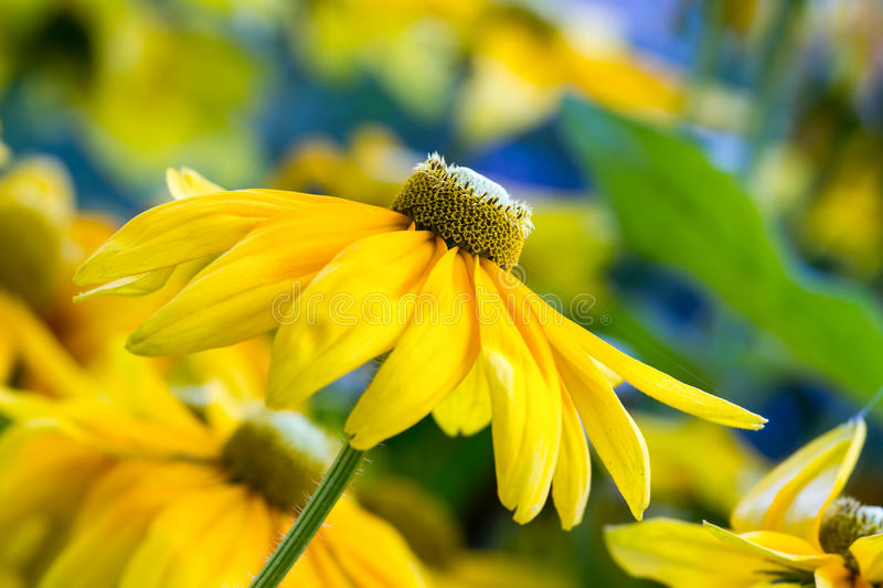 Download Yellow flowers stock photo. Image of beautiful, botany - 30085318