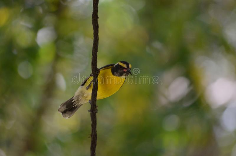 Pretty Yellow Sugarbird on a Vine stock photo
