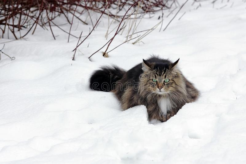 A pretty young brown-black Norwegian Forest Cat in winter in the snow stock photo