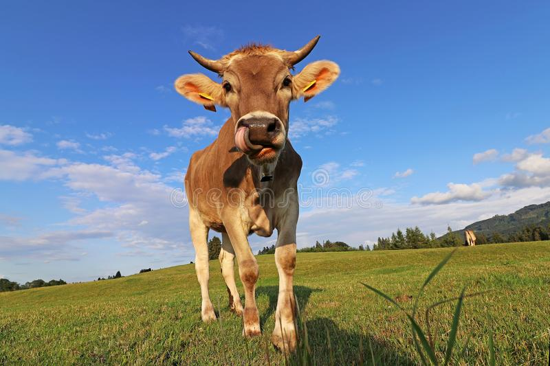 A pretty young brown dairy cow with horns and a bell licks her nose with her tongue stock photo