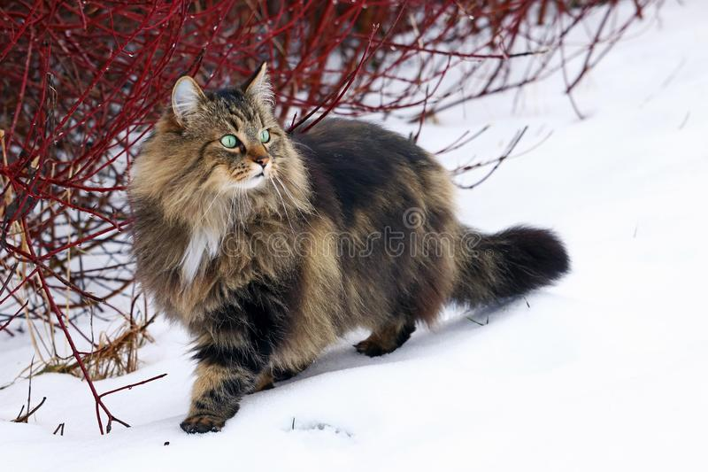 A pretty young Norwegian Forest Cat hunting in the snow royalty free stock photo
