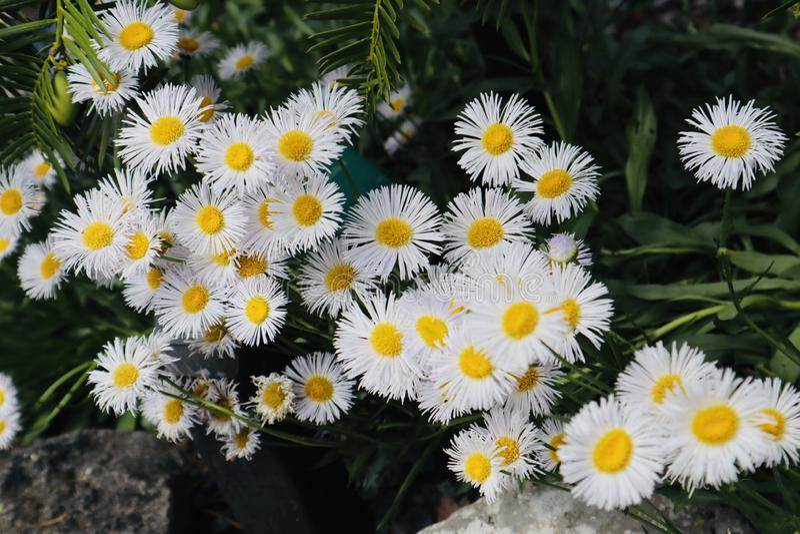 Prettybunch黄色白花春黄菊狂放生长 免版税库存图片