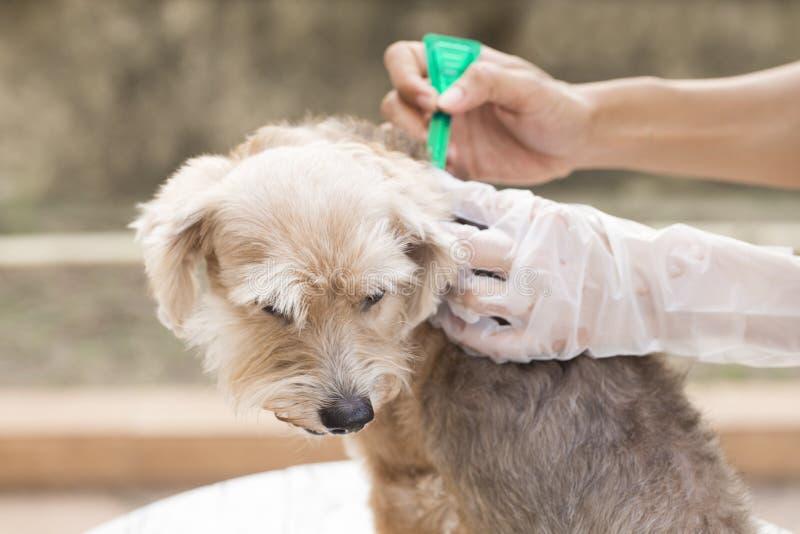 Prevenção do tiquetaque e da pulga para um cão fotos de stock