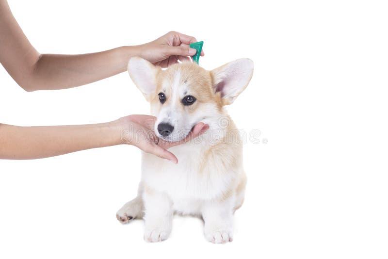 Prevención de la señal y de la pulga para un perro del corgi foto de archivo