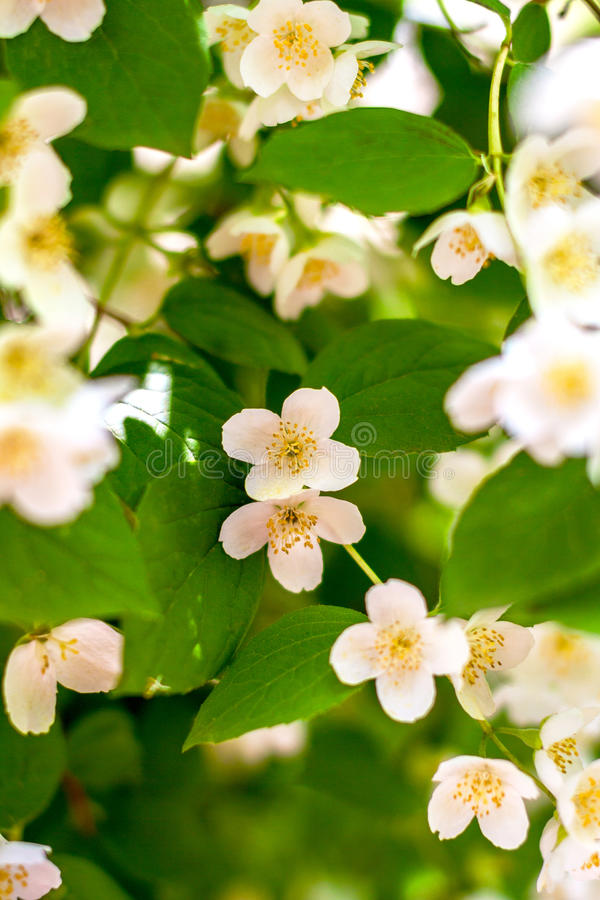 Download Preview Plant Twig Flower Blooming Jasmine Stock Image - Image: 41289565