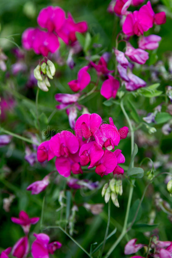 Download Preview Wild Meadow Pea Flowering Period Stock Image - Image: 42389947