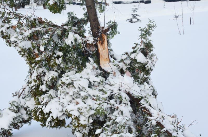 Previniendo y reparando daño del invierno Ramas rotas Thuja después de la tormenta de la nieve imagenes de archivo