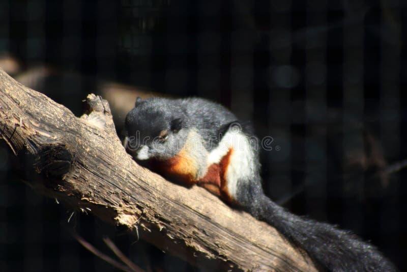 Prevost wiewiórka obraz royalty free