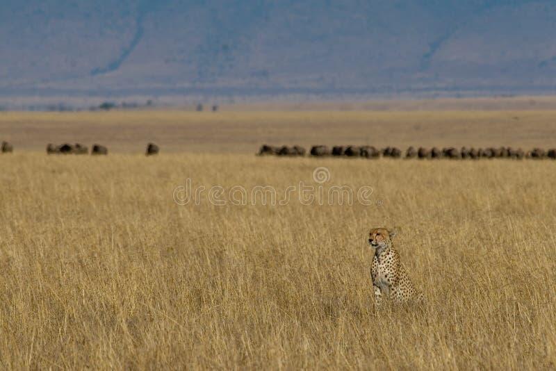 prey гепарда стоковое изображение rf