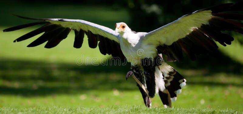 prey птицы стоковое фото