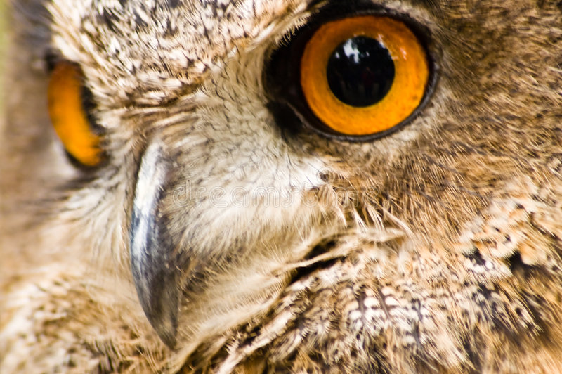 prey сыча орла птицы стоковая фотография