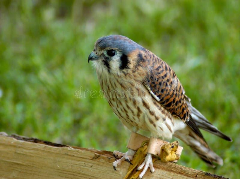 Prey Kestrel птицы Стоковые Фотографии RF