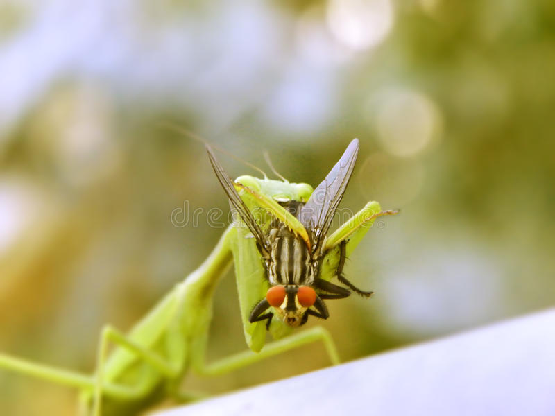 The Prey mantis and the fly. A close-up view of a prey mantis eating a red-eyed fly stock photos