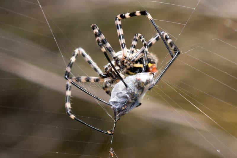 Prey Of A Spider Royalty Free Stock Photos