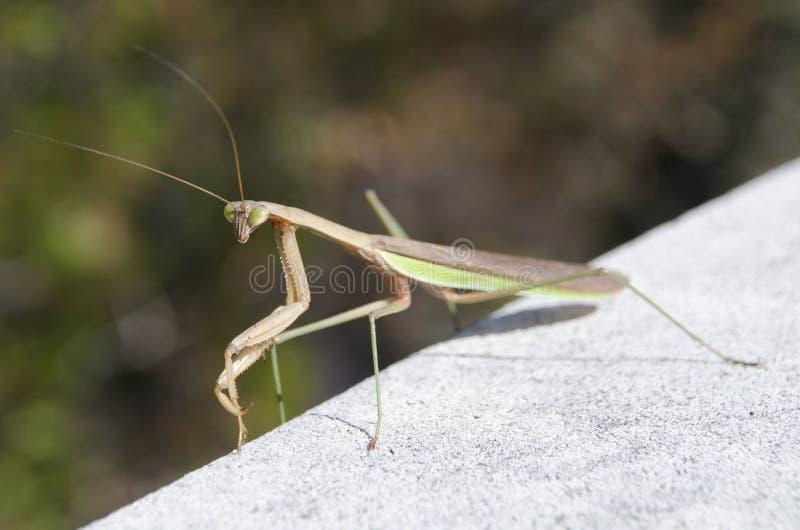 Preying Mantis stockfotografie